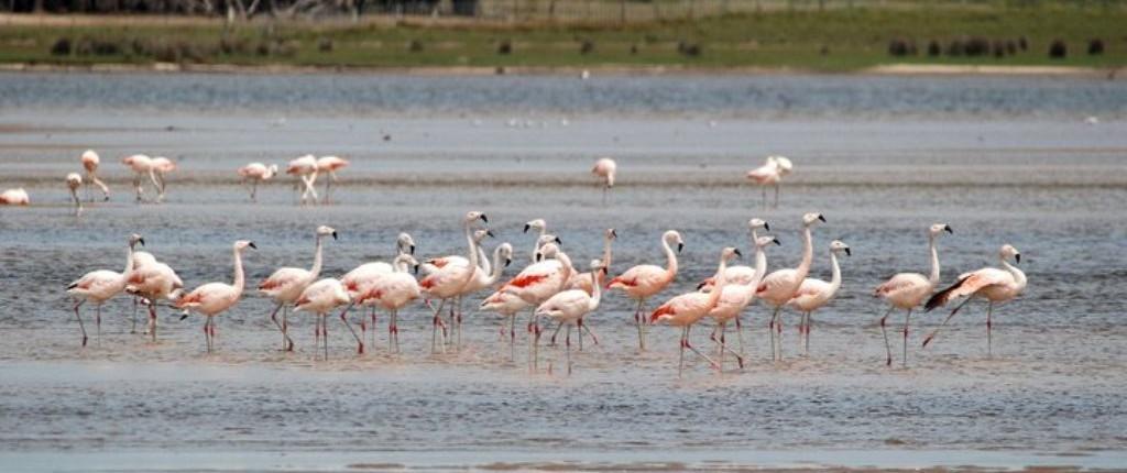Flamingos in Uruguay