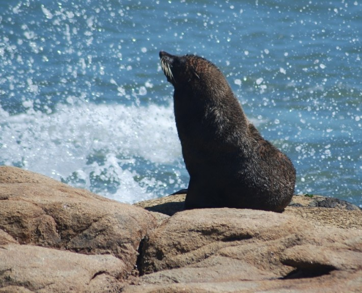 Sea Lion in Uruguay's coast.