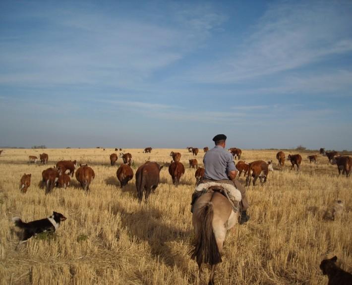 Gaucho herding cattle