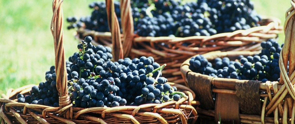 Grapes - Wine and Culinary Tours in Uruguay